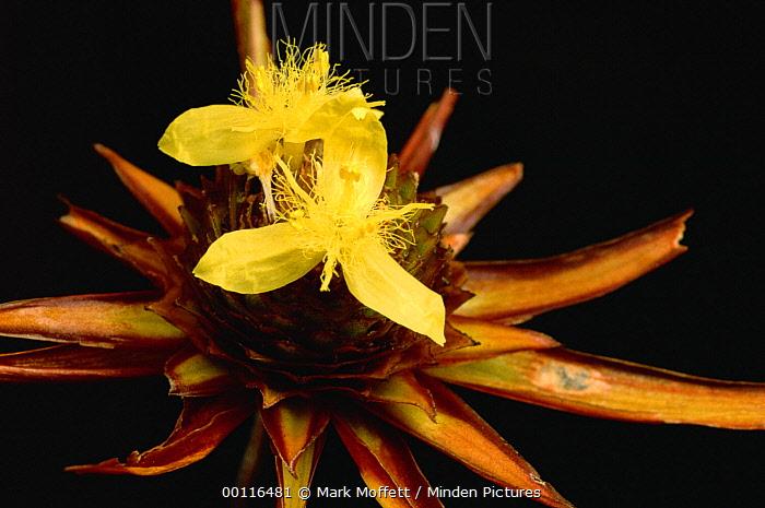 Yellow-eyed Grass (Xyris involuevata) flower, Autana Tepui, Venezuela  -  Mark Moffett