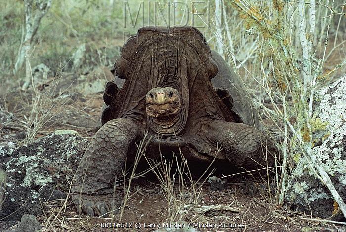 Pinzon Island Tortoise (Chelonoidis ephippium) large old male, Pinzon Island, Galapagos Islands, Ecuador  -  Larry Minden