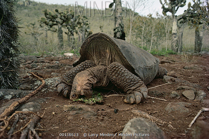 Pinzon Island Tortoise (Chelonoidis ephippium) male eating Opuntia (Opuntia sp) cactus pad, Pinzon Island, Galapagos Islands, Ecuador  -  Larry Minden