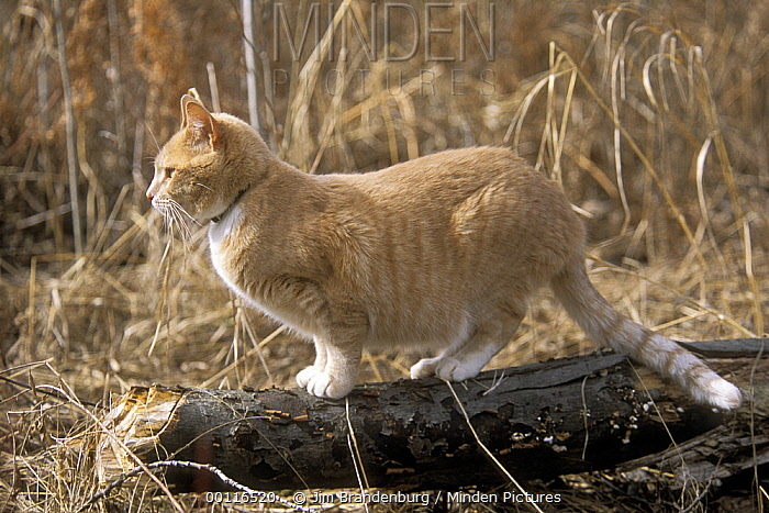 Orange Tabby cat named Skittles, standing on log, traveled 350 miles cross-country to return home after being separated from his owners, Minnesota  -  Jim Brandenburg