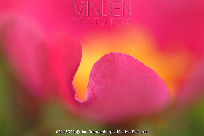 Prickly Wild Rose (Rosa acicularis) petal, Discovery Lake, Superior National Forest, Minnesota  -  Jim Brandenburg