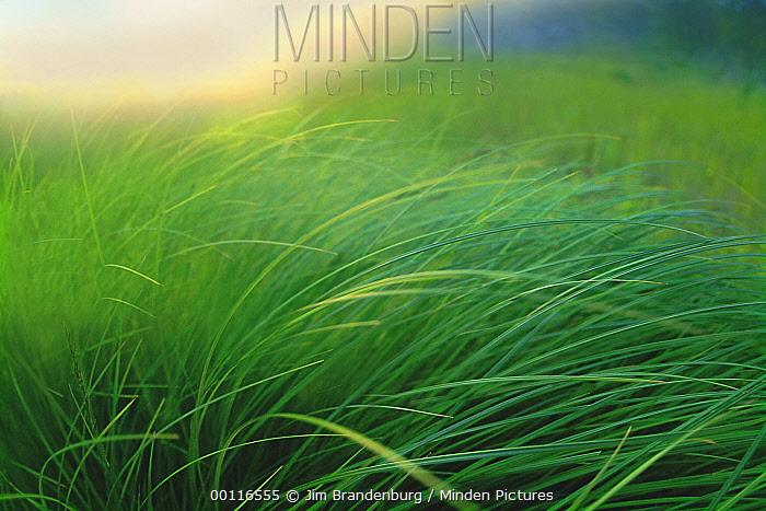 Breeze blown grass of lakeside sedge meadow, Moose Lake, Boundary Water Canoe Area Wilderness, Minnesota  -  Jim Brandenburg