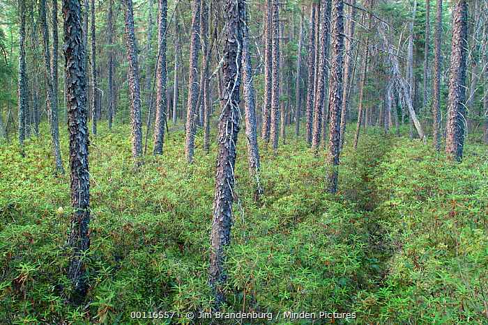 Black Spruce (Picea mariana) forest with Moose trail, Superior National Forest, Minnesota  -  Jim Brandenburg