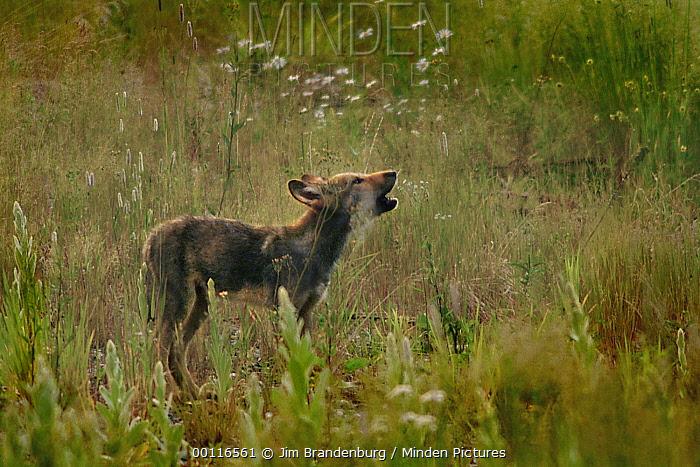 Timber Wolf (Canis lupus) pup howling, Minnesota  -  Jim Brandenburg