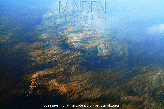Grass in Burntside River, Superior National Forest, Minnesota  -  Jim Brandenburg
