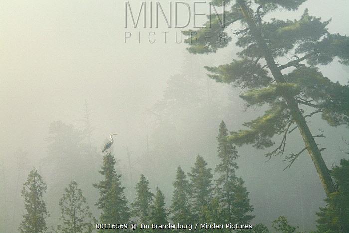 Great Blue Heron (Ardea herodias) perched atop a Black Spruce (Picea mariana) tree in fog, Northwoods, Minnesota  -  Jim Brandenburg