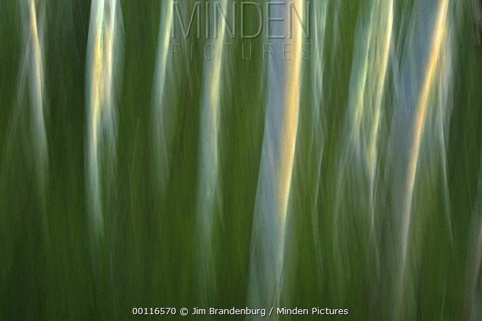 Birch (Betula sp) trees, Moose Lake, Boundary Waters Canoe Area Wilderness, Minnesota  -  Jim Brandenburg