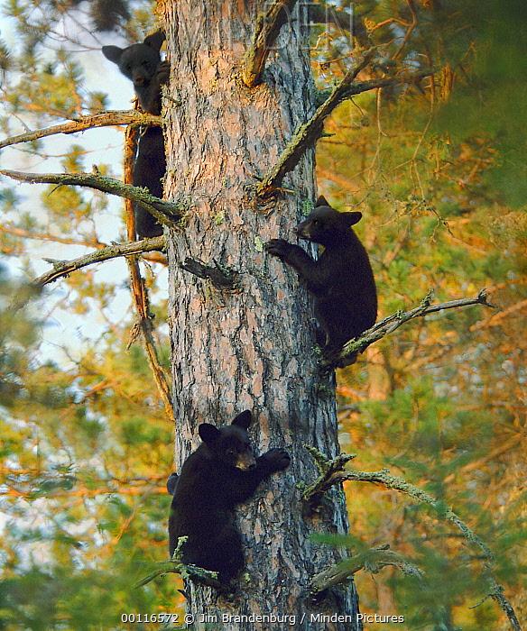 Black Bear (Ursus americanus) cubs in tree, Northwoods, Minnesota  -  Jim Brandenburg