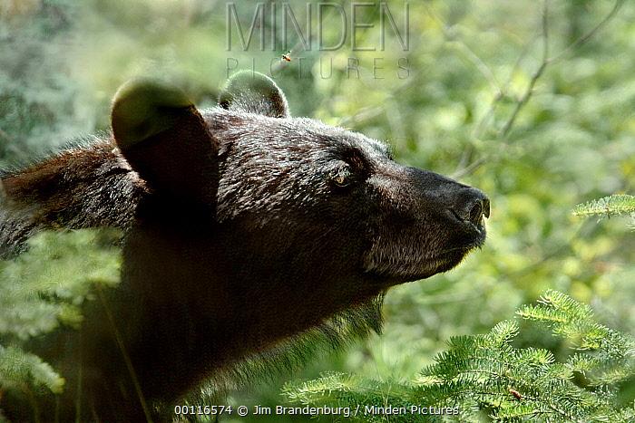 Black Bear (Ursus americanus) and bee, Superior National Forest, Minnesota  -  Jim Brandenburg