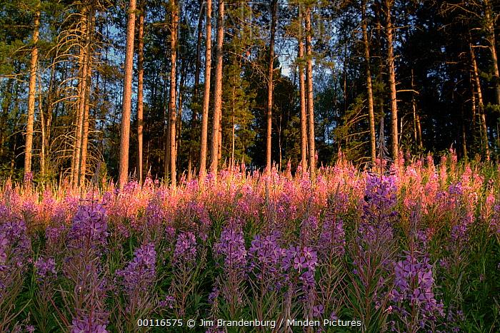 Fireweed (Chamerion angustifolium) and Pine (Pinus sp) trees, Northwoods, Minnesota  -  Jim Brandenburg