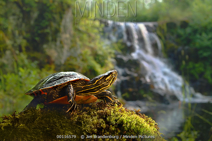 Painted Turtle (Chrysemys picta) near waterfall, Superior National Forest, Minnesota  -  Jim Brandenburg