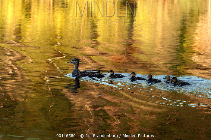 American Black Duck (Anas rubripes) mother with five chicks on water, Northwoods, Minnesota  -  Jim Brandenburg