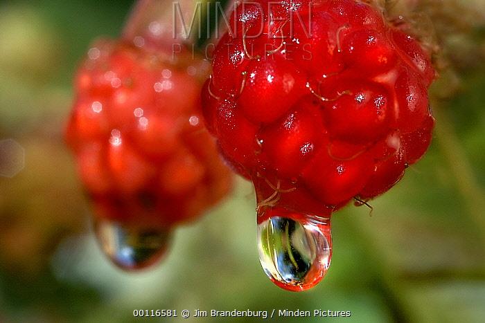 Bramble (Rubus sp), rasberries with dew drops, Northwoods, Minnesota  -  Jim Brandenburg