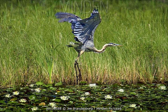 Great Blue Heron (Ardea herodias) taking flight from lily pond, Northwoods, Minnesota  -  Jim Brandenburg
