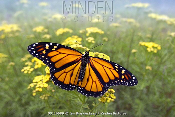 Monarch (Danaus plexippus) butterfly, Minnesota  -  Jim Brandenburg