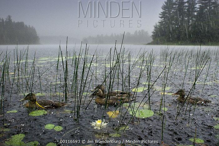 American Black Duck (Anas rubripes) group on lake in thunder storm, Northwoods, Minnesota  -  Jim Brandenburg