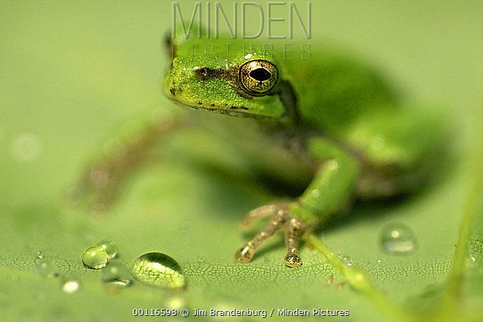 Tree Frog (Hylidae) on leaf, Minnesota  -  Jim Brandenburg