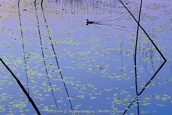 Common Loon (Gavia immer) swimming amid reeds on Rookie Lake, Northwoods, Minnesota  -  Jim Brandenburg