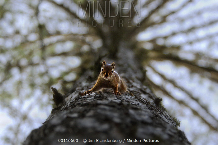 Red Squirrel (Tamiasciurus hudsonicus) on Red Pine (Pinus resinosa) trunk, Northwoods, Minnesota  -  Jim Brandenburg
