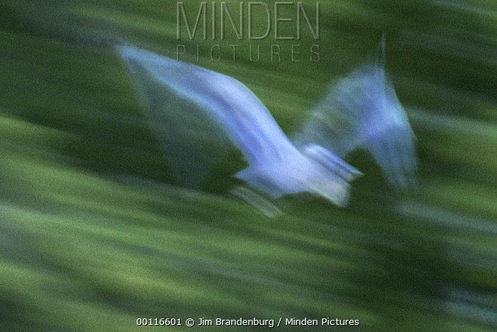 Great Blue Heron (Ardea herodias) flying, Northwoods, Minnesota  -  Jim Brandenburg