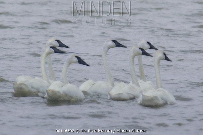 Trumpeter Swan (Cygnus buccinator) group on water, Minnesota  -  Jim Brandenburg