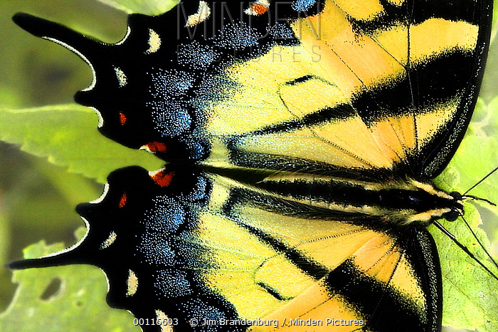 Swallowtail (Papilio sp) butterfly, Minnesota  -  Jim Brandenburg