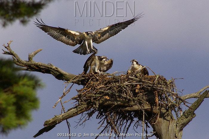 Osprey (Pandion haliaetus) landing on nest, Northwoods, Minnesota  -  Jim Brandenburg