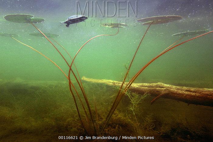 Turtle swimming among lily pads, Northwoods, Minnesota  -  Jim Brandenburg