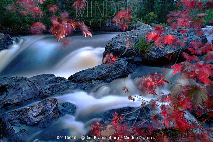 Sugar Maple (Acer saccharum) trees in autumn colors, Vermilion Falls, Voyager National Park, Minnesota  -  Jim Brandenburg