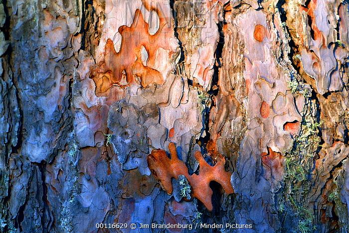 Red Pine (Pinus resinosa) bark detail, Northwoods, Minnesota  -  Jim Brandenburg