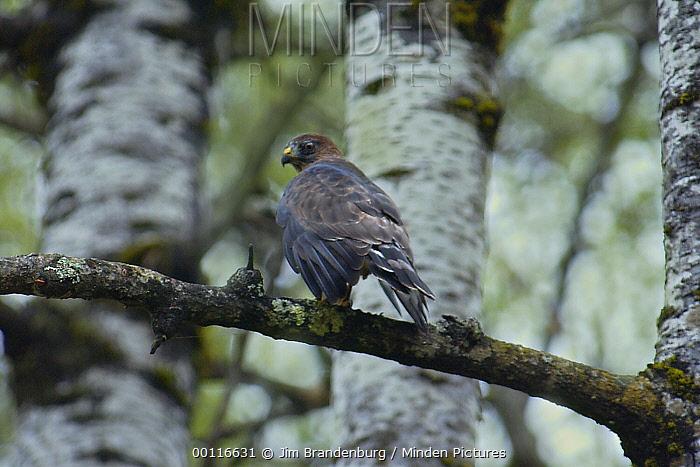Broad-winged Hawk (Buteo platypterus) perched on branch in forest, Minnesota  -  Jim Brandenburg
