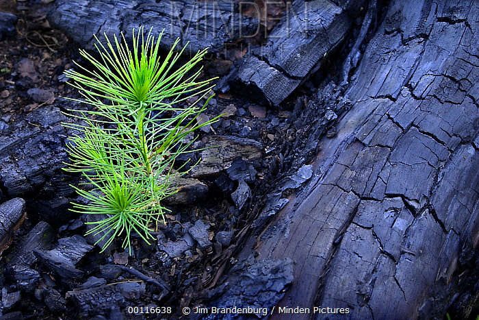 Jack Pine (Pinus banksiana) seedling sprouting after fire, Minnesota  -  Jim Brandenburg