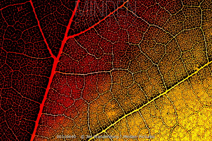 Maple (Acer sp) leaf in fall colors, Northwoods, Minnesota  -  Jim Brandenburg