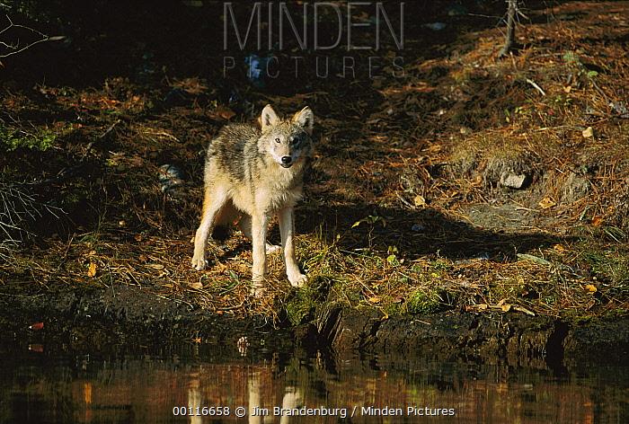Timber Wolf (Canis lupus) at water's edge, Minnesota  -  Jim Brandenburg