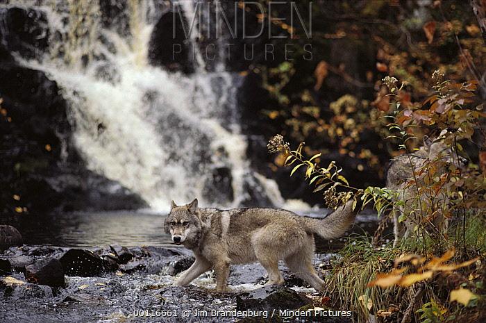 Timber Wolf (Canis lupus) crossing stream, Superior National Forest, Minnesota  -  Jim Brandenburg
