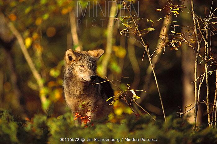 Timber Wolf (Canis lupus) juvenile, Minnesota  -  Jim Brandenburg