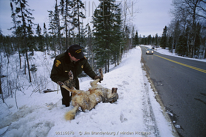 Timber Wolf (Canis lupus) conservation officer with a dead wolf at the side of the road, North America  -  Jim Brandenburg