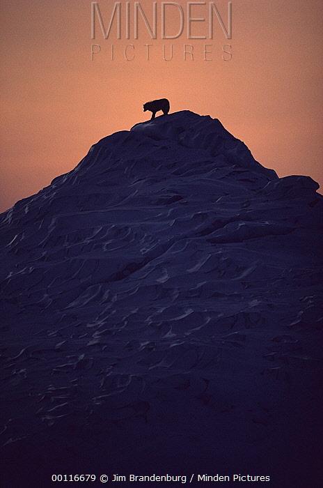 Arctic Wolf (Canis lupus) atop iceberg, Ellesmere Island, Nunavut, Canada  -  Jim Brandenburg