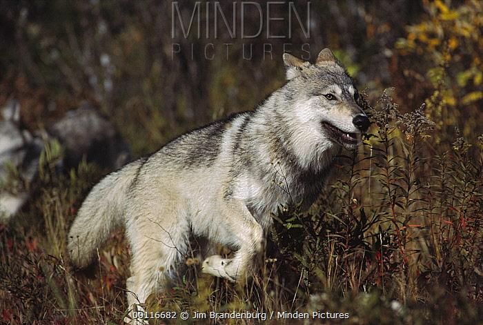 Timber Wolf (Canis lupus) running, North America  -  Jim Brandenburg