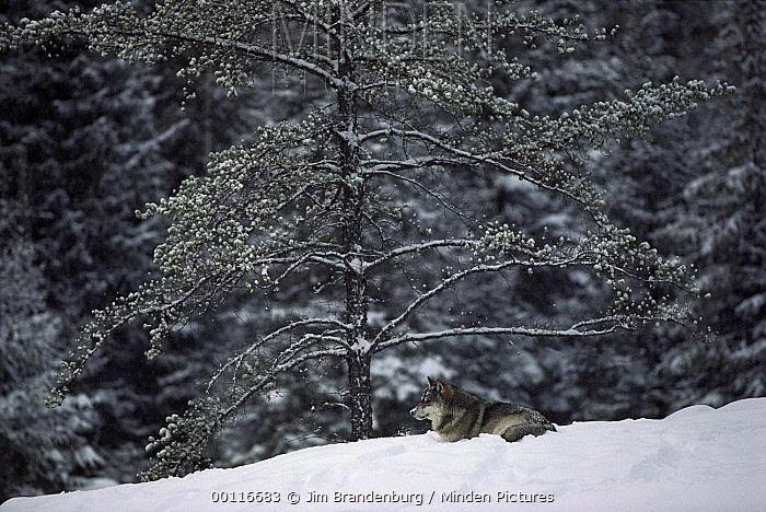 Timber Wolf (Canis lupus) resting in snow, Boundary Waters Canoe Area Wilderness, Minnesota  -  Jim Brandenburg