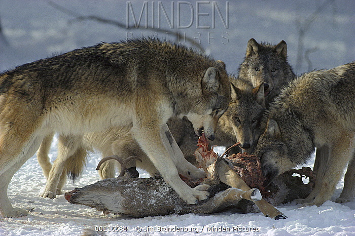 Timber Wolf (Canis lupus) pack feeding on White-tailed Deer (Odocoileus virginianus) carcass, Minnesota  -  Jim Brandenburg