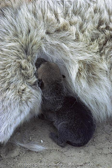 Timber Wolf (Canis lupus) one day old pup nursing, Minnesota  -  Jim Brandenburg
