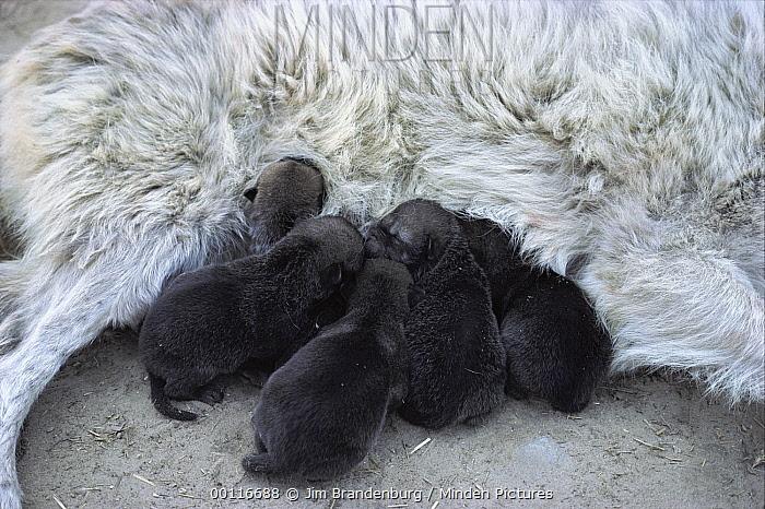 Timber Wolf (Canis lupus) one day old pups nursing, Minnesota  -  Jim Brandenburg