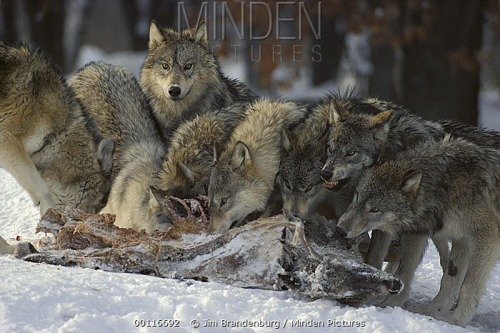Timber Wolf (Canis lupus) pack feeding on White-tailed Deer (Odocoileus virginianus) kill, Minnesota  -  Jim Brandenburg