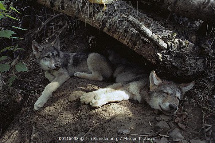 Timber Wolf (Canis lupus) pups resting at den entrance, North America  -  Jim Brandenburg