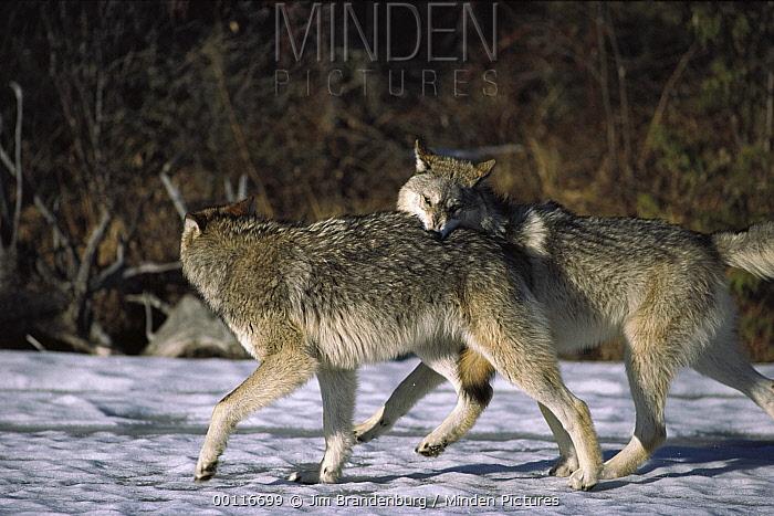 Timber Wolf (Canis lupus) pair playing, North America  -  Jim Brandenburg