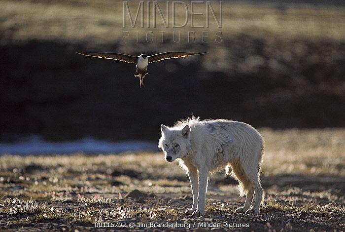 Long-tailed Jaeger (Stercorarius longicaudus) attacking Arctic Wolf (Canis lupus) standing too close to its nest, Ellesmere Island, Nunavut, Canada  -  Jim Brandenburg