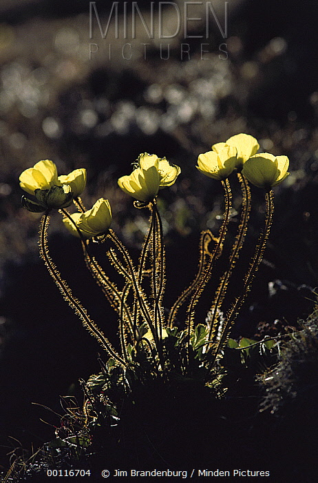 Arctic Poppy (Papaver lapponicum) flowers, Ellesmere Island, Nunavut, Canada  -  Jim Brandenburg