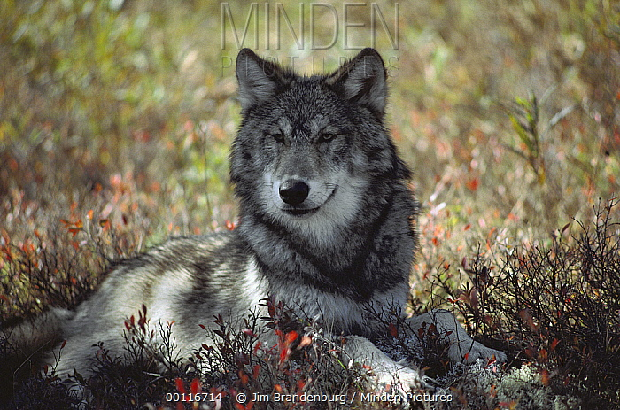 Timber Wolf (Canis lupus) resting in the shade, Minnesota  -  Jim Brandenburg