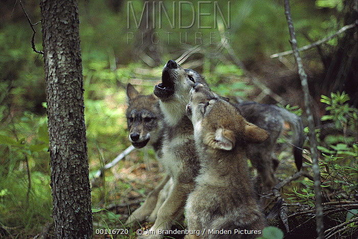Timber Wolf (Canis lupus) pup trio howling, Minnesota  -  Jim Brandenburg